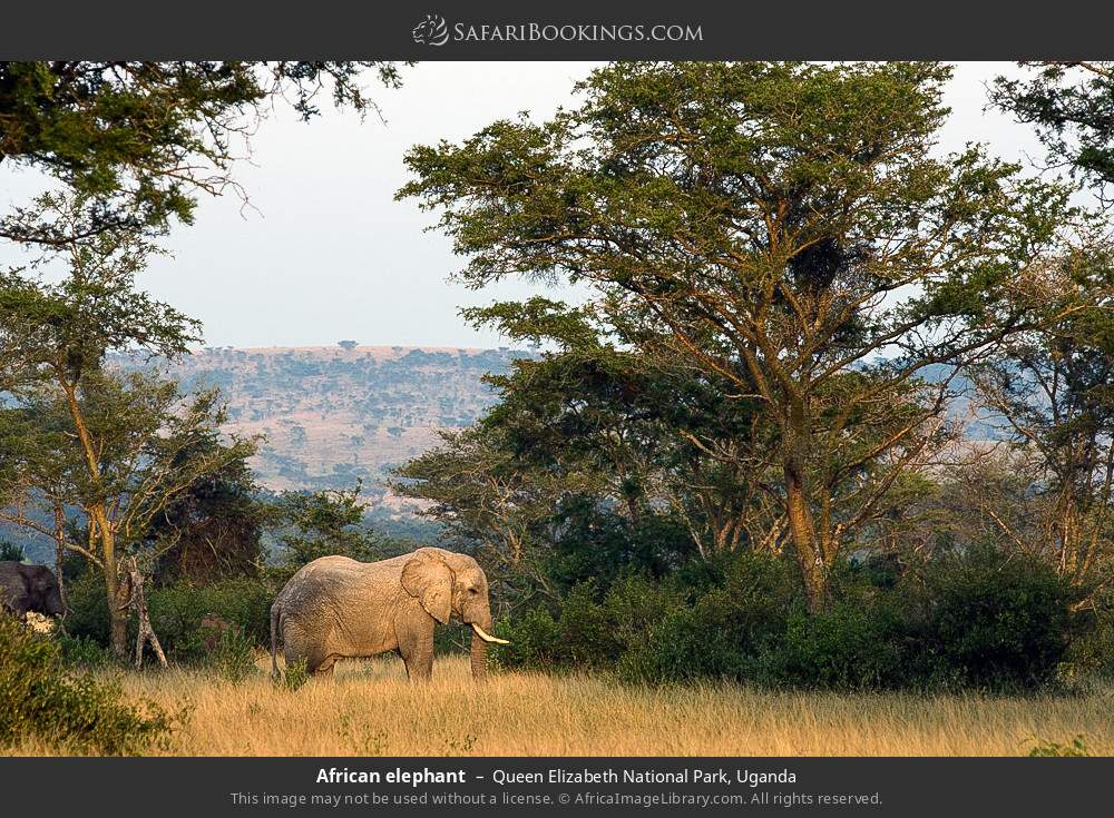 African elephant in Queen Elizabeth National Park, Uganda