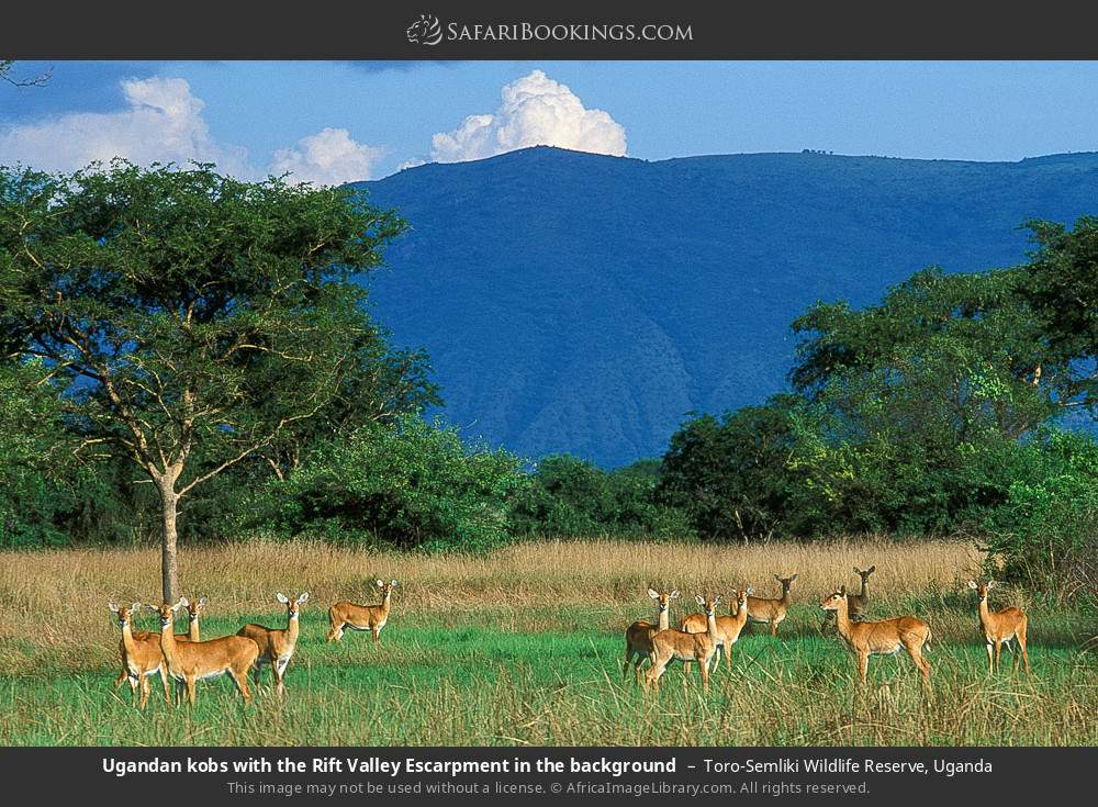 Ugandan kobs with the Rift Valley Escarpment in the background in Toro-Semliki Wildlife Reserve, Uganda