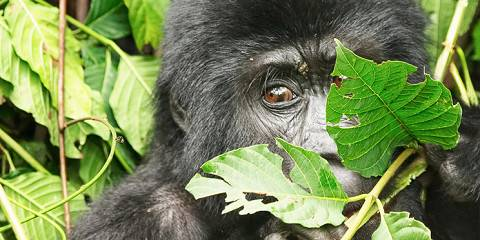 6-Day Come and Discover Mother Land Chimps and Gorilla