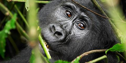 3-Day Gorilla Safari Fly-in - Comfort (Private Tour)