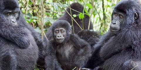 8-Day Gorillas, Chimpanzee & Lions Safari (Comfort Tour)