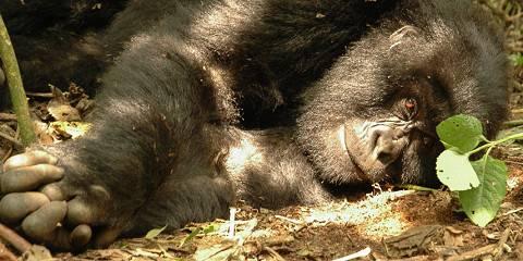 3-Day Bwindi Gorilla Tracking in Rwanda