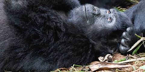 6-Day Uganda Safari, Gorillas, Wildlife and Chimpanzee
