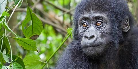 5-Day Uganda Gorilla and Chimp Tracking