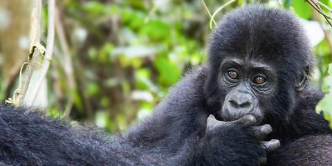 7-Day Primate Experience to Gorillas, Chimps and Monkeys