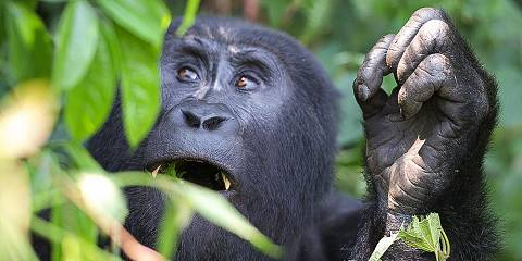 4-Day Budget Gorillas & Golden Monkey Trekking Tour