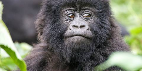 8-Day Gorillas, Chimpanzees and Big Game