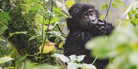 3-Day Fly-in Gorilla Tracking Adventure Bwindi