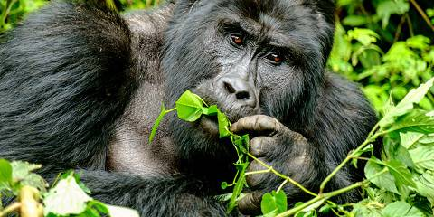 5-Day Bwindi Gorilla and Kibale Chimp Habituation Tour