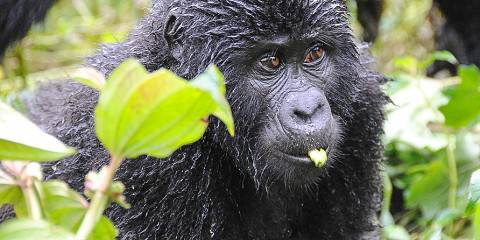 3-Day Gorilla Trekking Safari in Uganda (Midrange)