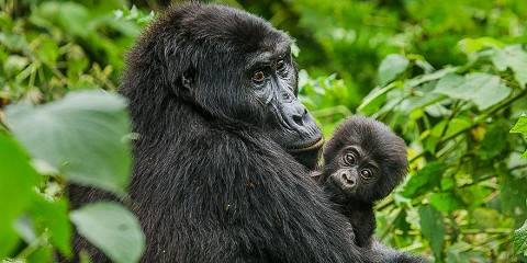 7-Day Uganda Great Apes and Golden Monkeys Budget Safari