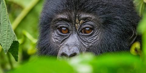 3-Day Ultimate Uganda and Rwanda Gorilla Tracking