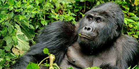 4-Day Gorillas, Wildlife and Chimpanzee Trekking Safari