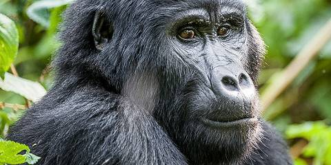 3-Day Uganda Gorilla Trekking Moderate Safari