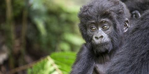8-Day Gorillas, Chimpanzees and Wildlife Uganda Safari