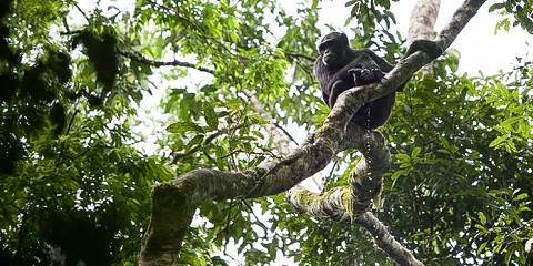 3-Day Kibale Chimpanzee Trekking Safari