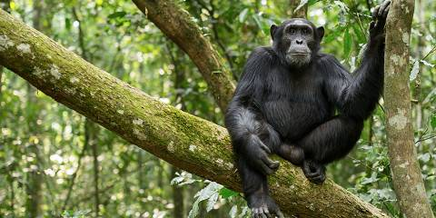 7-Day Gorilla, Chimp Tracking & Safari - Midrange/Van