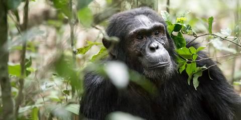 5-Day Gorilla & Chimpanzee Tracking Safari Tour