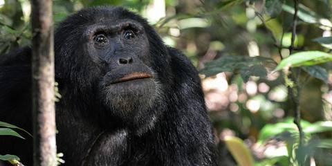 3-Day Chimpanzee Trekking in Uganda Kibale