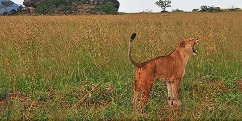 11-Day Uganda Budget Safari (Private Tour)