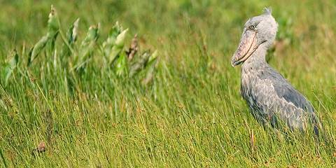 3-Day Shoebill Tour