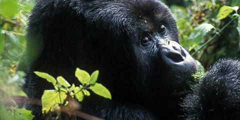 4-Day Fly-in Mountain Gorilla Trek in Uganda