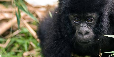 3-Day Gorilla Trekking Budget Safari in Uganda