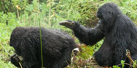 3-Day On Foot Mountain Gorilla Trekking Experience