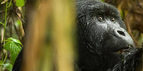 4-Day Uganda Gorillas Express