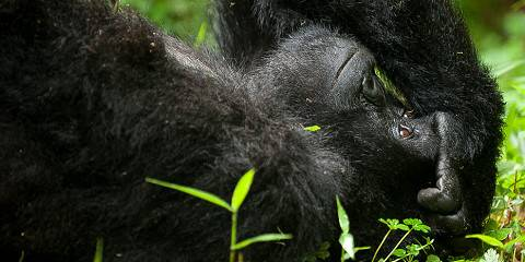 4-Day Gorilla & Explosive Wildlife