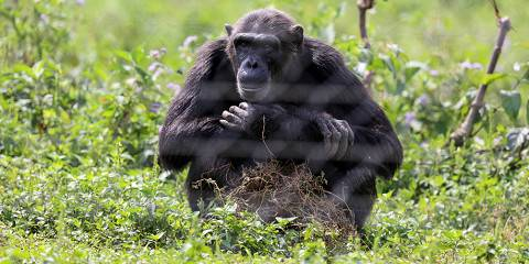 3-Day Chimps Tracking in Kibale