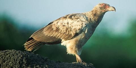 15-Day Uganda Bird-Watching Safari