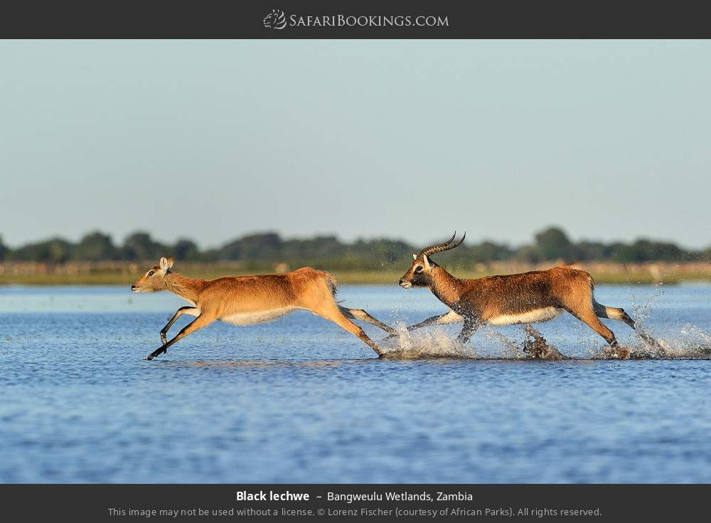 Black lechwe in Bangweulu Wetlands, Zambia