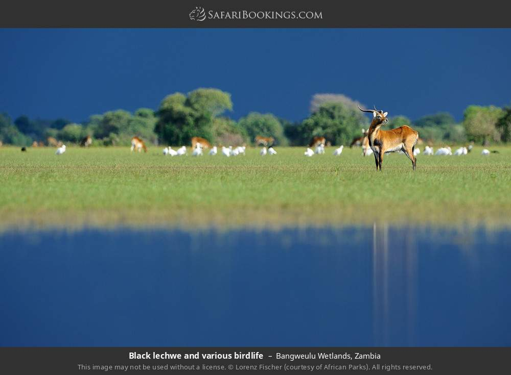 Black lechwe and various birdlife in Bangweulu Wetlands, Zambia