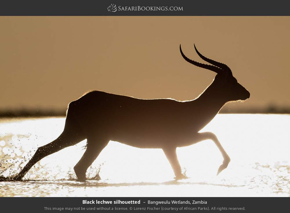 Black lechwe silhouetted in Bangweulu Wetlands, Zambia