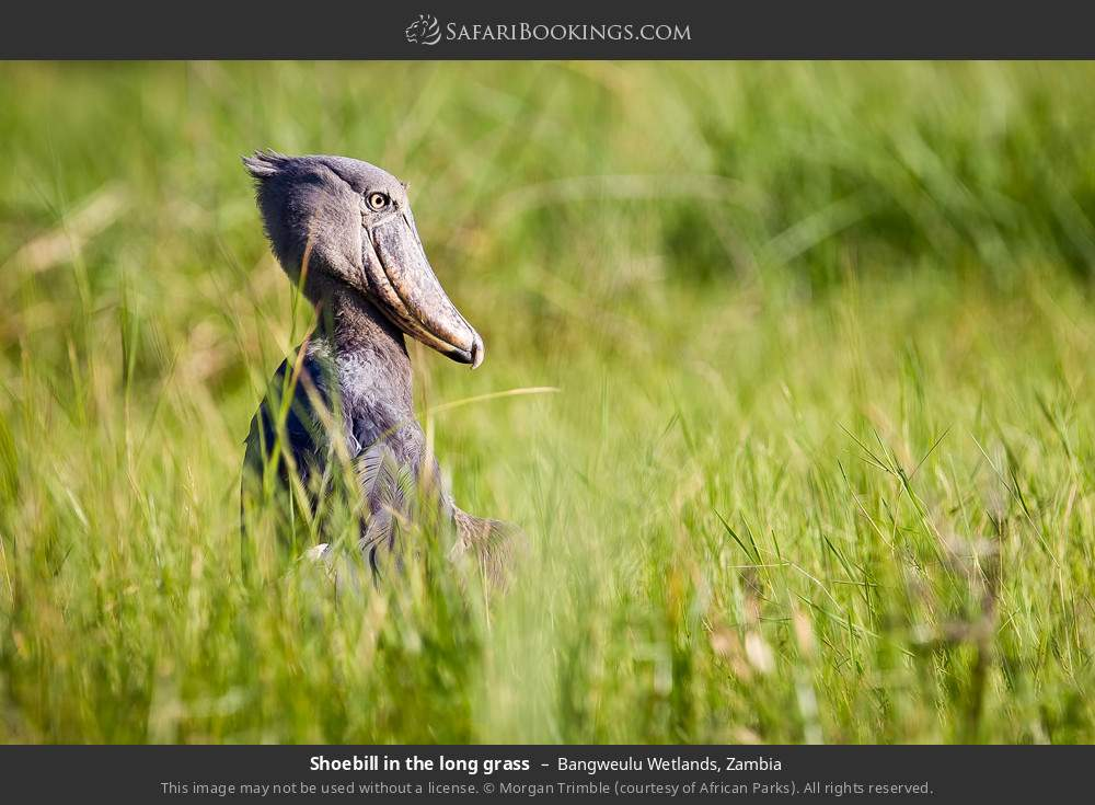 Shoebill in the long grass in Bangweulu Wetlands, Zambia