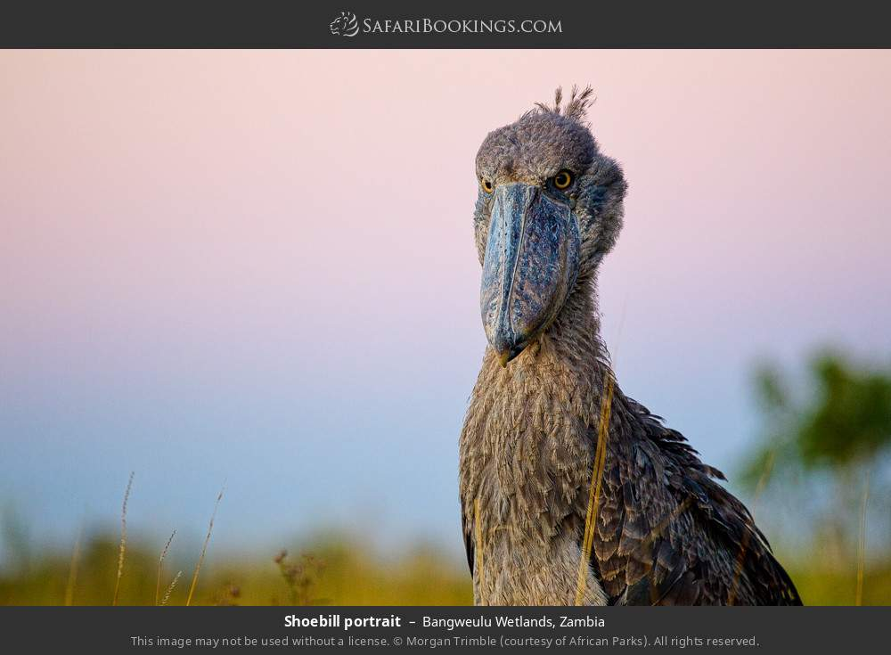 Shoebill portrait in Bangweulu Wetlands, Zambia