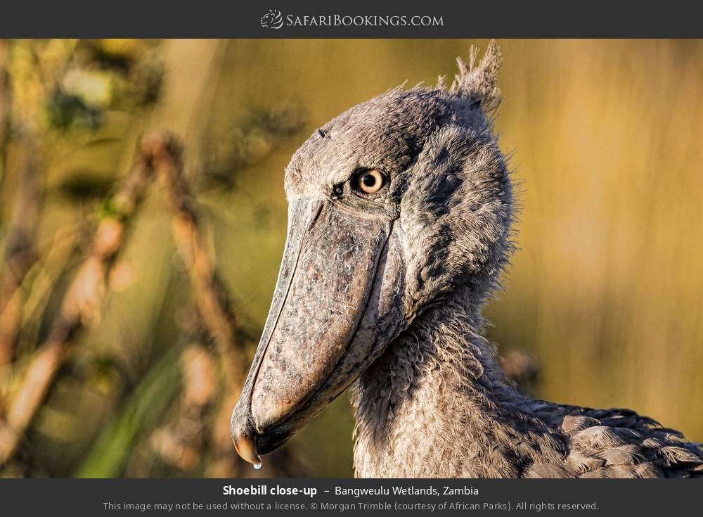 Shoebill close-up in Bangweulu Wetlands, Zambia