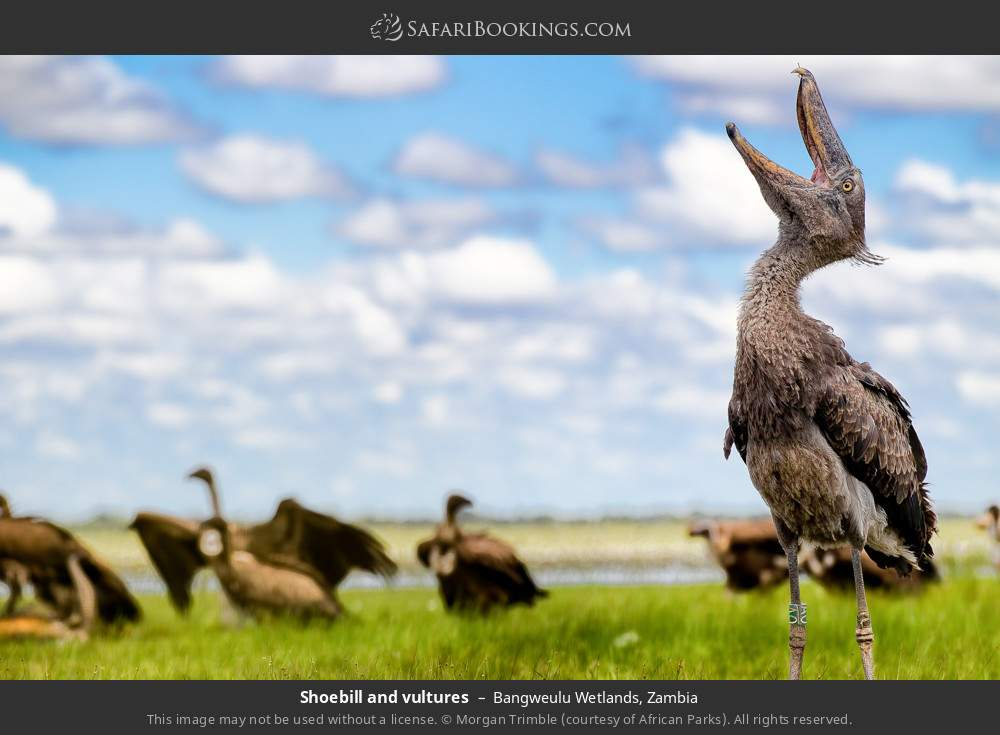 Shoebill and vultures in Bangweulu Wetlands, Zambia