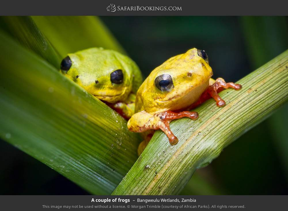 A couple of frogs in Bangweulu Wetlands, Zambia