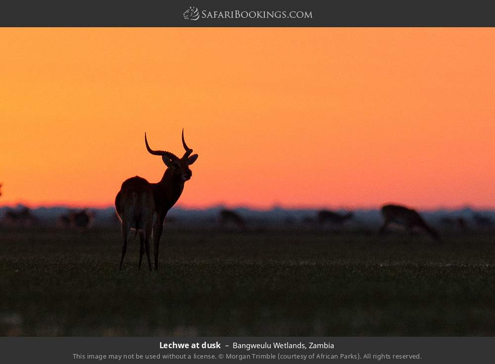 Lechwe at dusk in Bangweulu Wetlands, Zambia