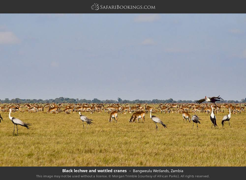 Black lechwe and wattled cranes in Bangweulu Wetlands, Zambia
