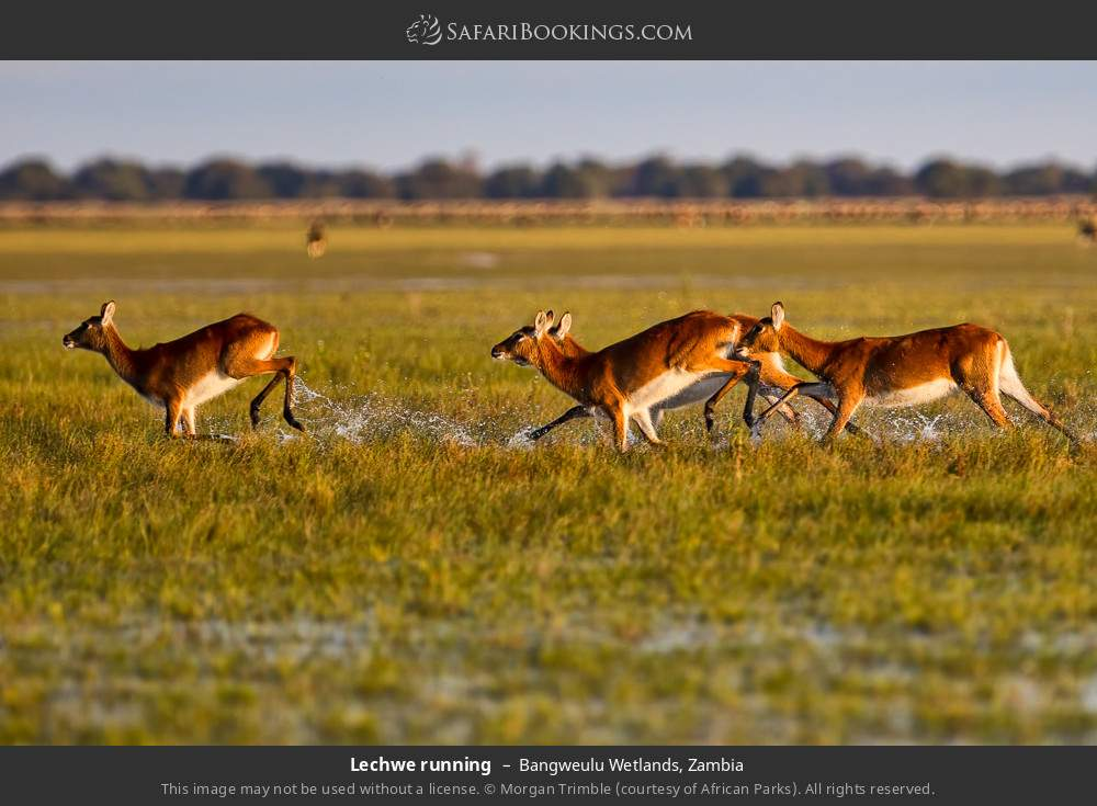 Lechwe running in Bangweulu Wetlands, Zambia