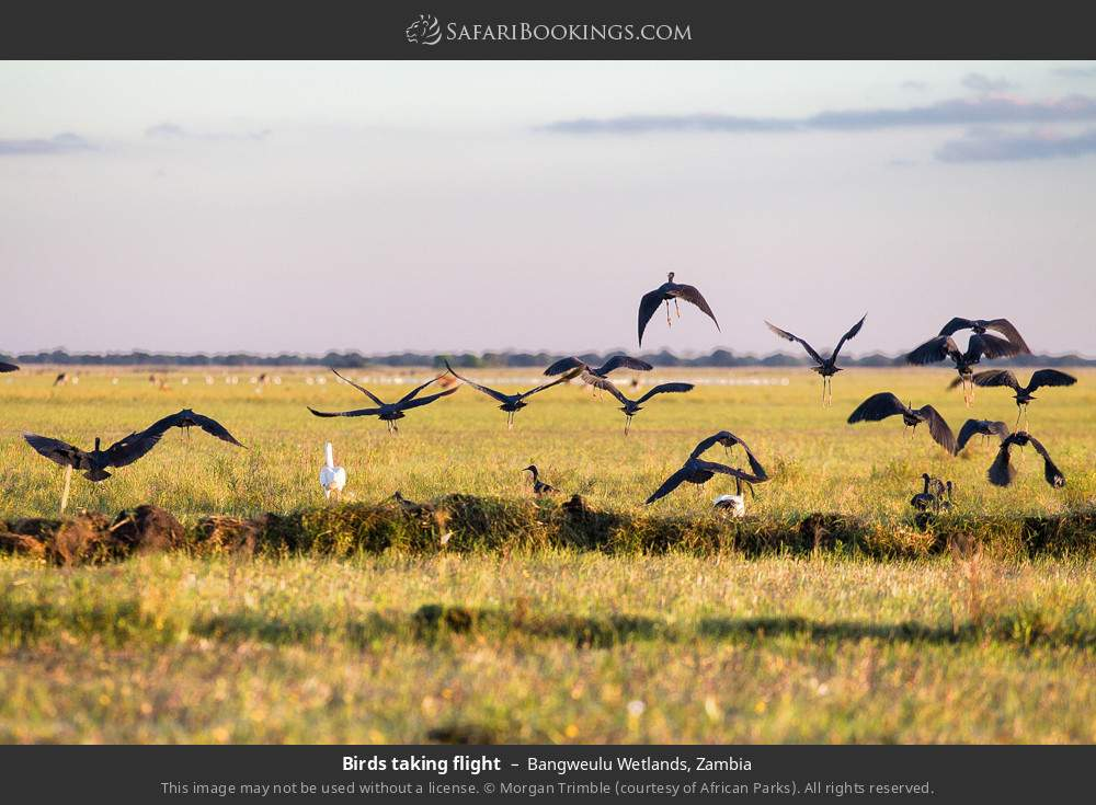 Birds taking flight in Bangweulu Wetlands, Zambia