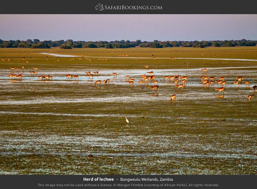 Herd of lechwe in Bangweulu Wetlands, Zambia