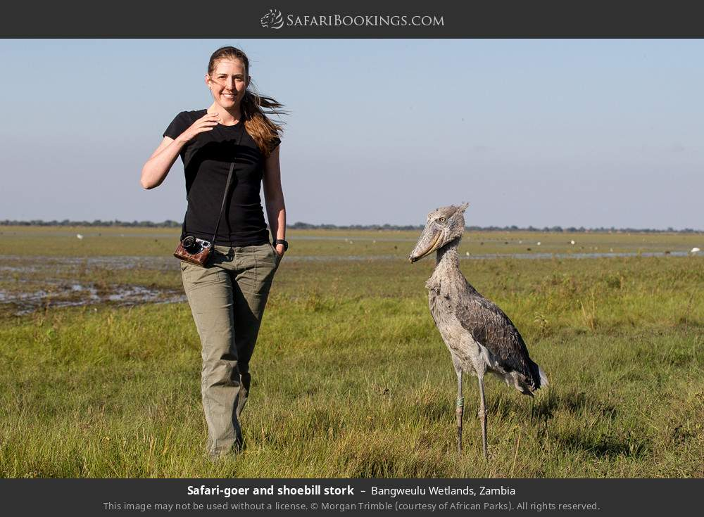 Woman and shoebill stork in Bangweulu Wetlands, Zambia