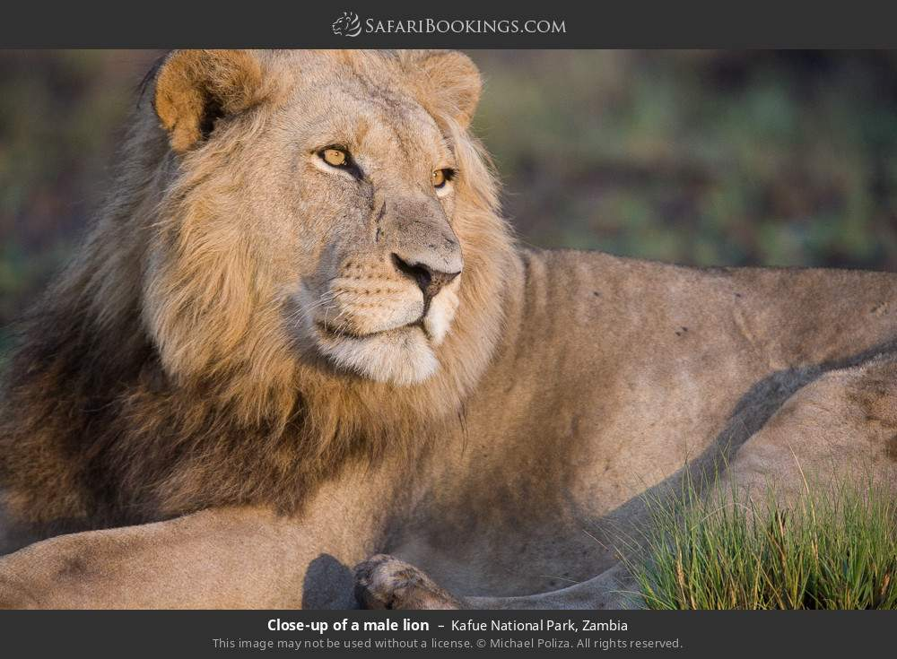 Close-up of a male lion in Kafue National Park, Zambia