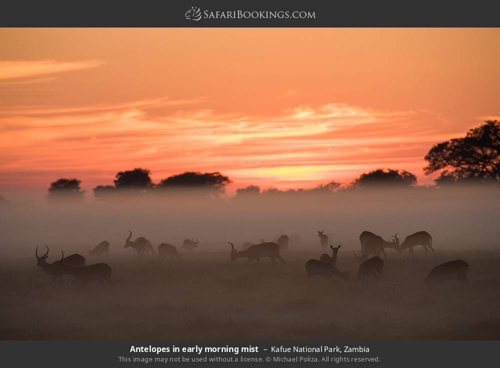 Antelopes in early morning mist in Kafue National Park, Zambia