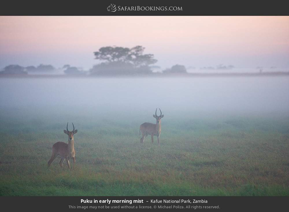 Puku in early morning mist in Kafue National Park, Zambia