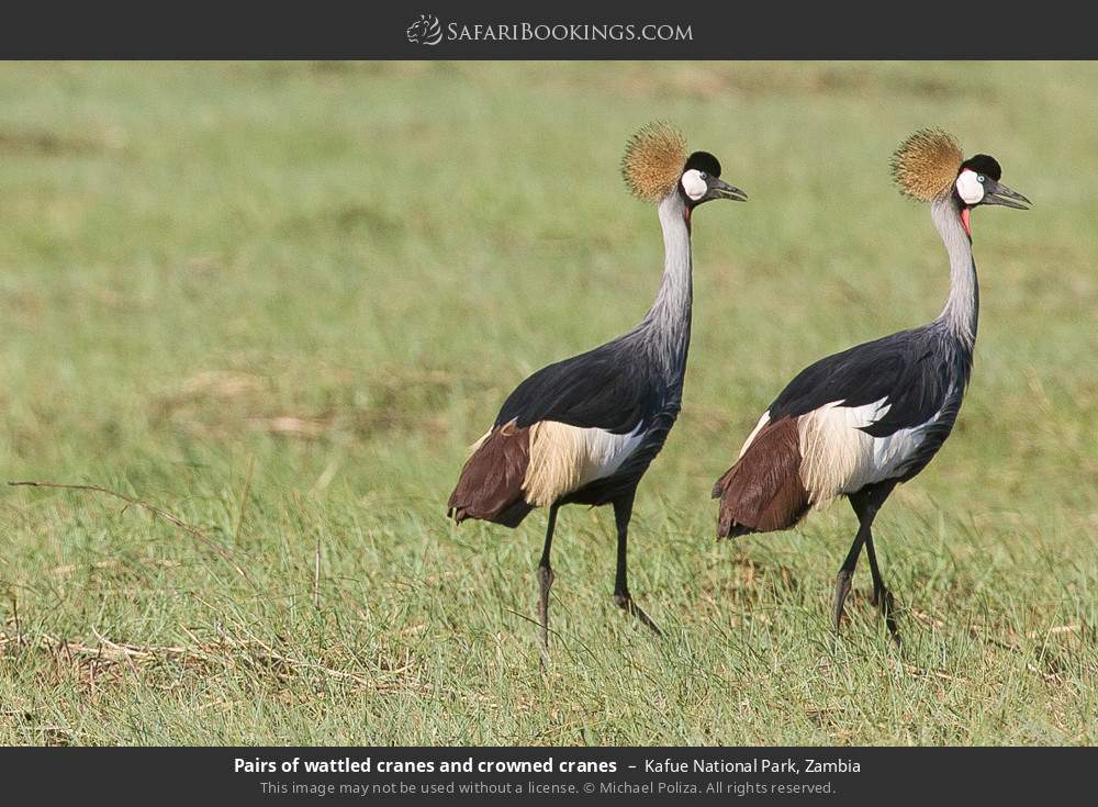 Pairs of wattled cranes and crowned cranes in Kafue National Park, Zambia